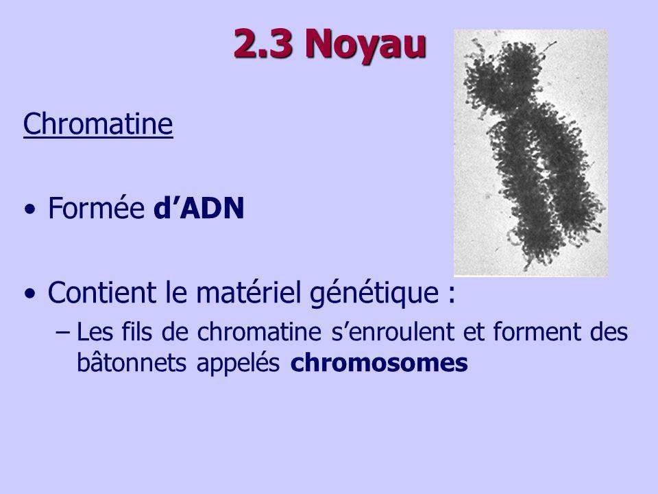 2.3 Noyau Chromatine Formée dADN Contient le matériel génétique : –Les fils de chromatine senroulent et forment des bâtonnets appelés chromosomes