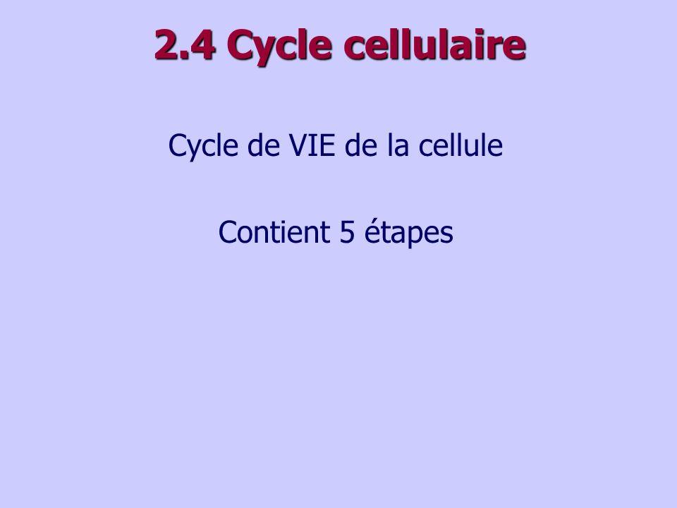 2.4 Cycle cellulaire Cycle de VIE de la cellule Contient 5 étapes