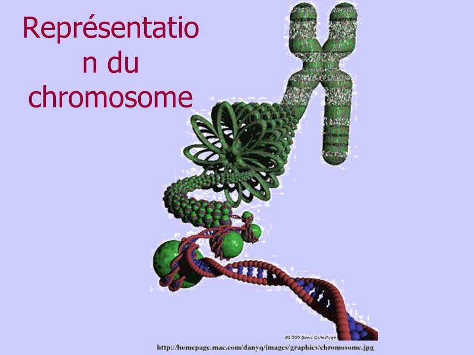 Représentatio n du chromosome