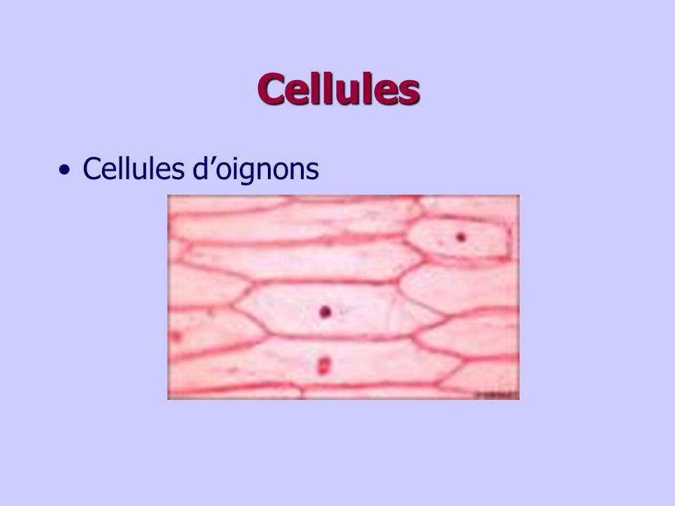 Cellules Cellules doignons