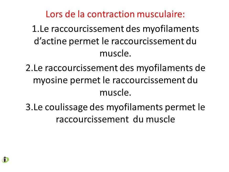Lors de la contraction musculaire: 1.Le raccourcissement des myofilaments dactine permet le raccourcissement du muscle. 2.Le raccourcissement des myof