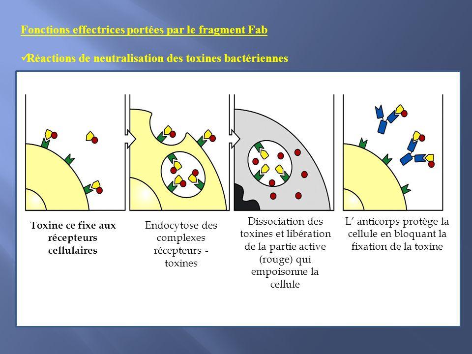 Fonctions effectrices portées par le fragment Fab Réactions de neutralisation des toxines bactériennes Toxine ce fixe aux récepteurs cellulaires Endocytose des complexes récepteurs - toxines Dissociation des toxines et libération de la partie active (rouge) qui empoisonne la cellule L anticorps protège la cellule en bloquant la fixation de la toxine