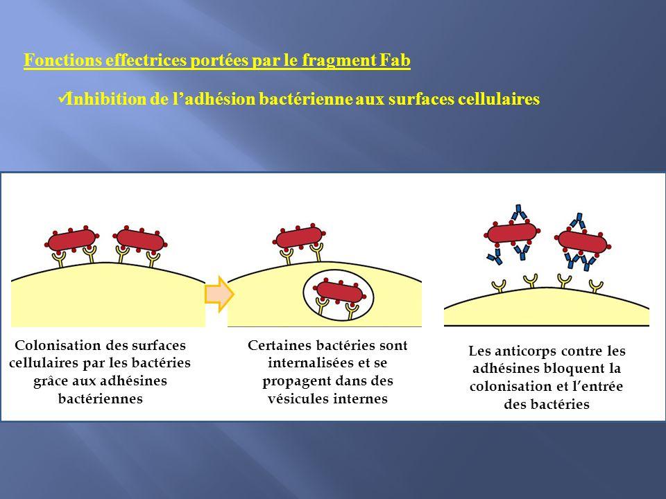 Fonctions effectrices portées par le fragment Fab Inhibition de ladhésion bactérienne aux surfaces cellulaires Colonisation des surfaces cellulaires par les bactéries grâce aux adhésines bactériennes Certaines bactéries sont internalisées et se propagent dans des vésicules internes Les anticorps contre les adhésines bloquent la colonisation et lentrée des bactéries