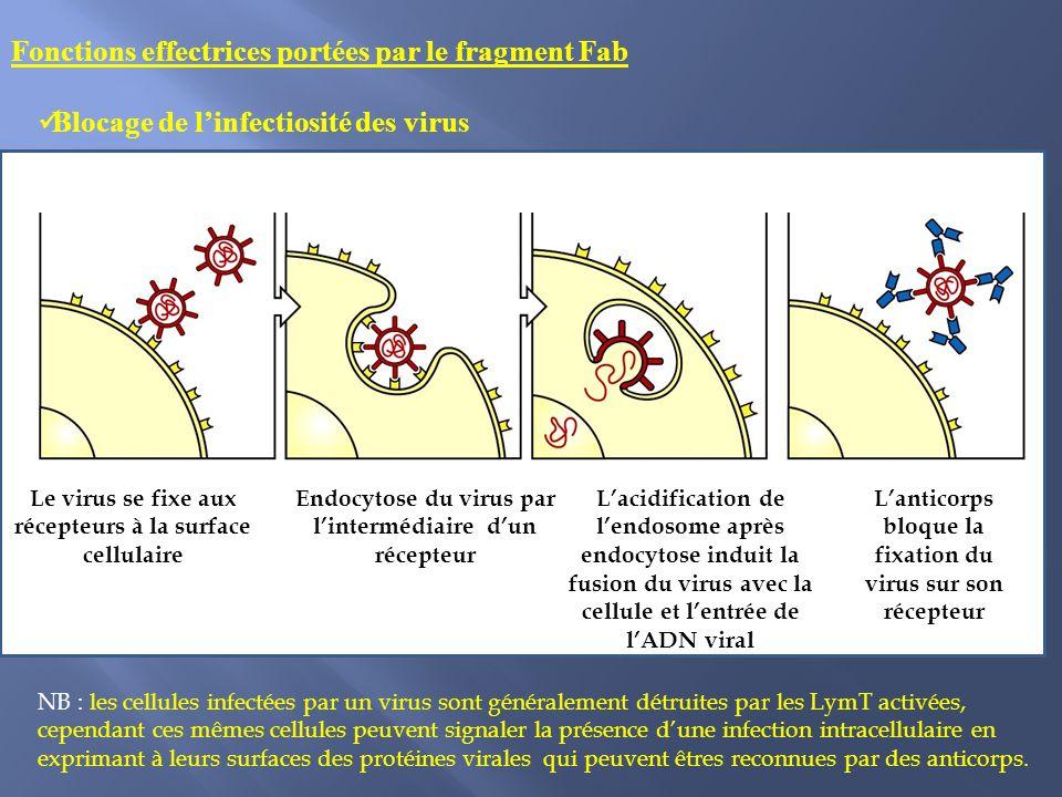 Blocage de linfectiosité des virus Fonctions effectrices portées par le fragment Fab Le virus se fixe aux récepteurs à la surface cellulaire Endocytose du virus par lintermédiaire dun récepteur Lacidification de lendosome après endocytose induit la fusion du virus avec la cellule et lentrée de lADN viral Lanticorps bloque la fixation du virus sur son récepteur NB : les cellules infectées par un virus sont généralement détruites par les LymT activées, cependant ces mêmes cellules peuvent signaler la présence dune infection intracellulaire en exprimant à leurs surfaces des protéines virales qui peuvent êtres reconnues par des anticorps.