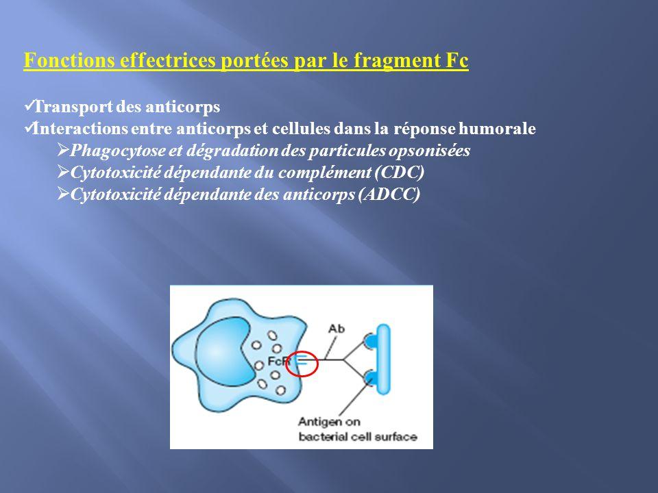 Fonctions effectrices portées par le fragment Fc Transport des anticorps Interactions entre anticorps et cellules dans la réponse humorale Phagocytose et dégradation des particules opsonisées Cytotoxicité dépendante du complément (CDC) Cytotoxicité dépendante des anticorps (ADCC)