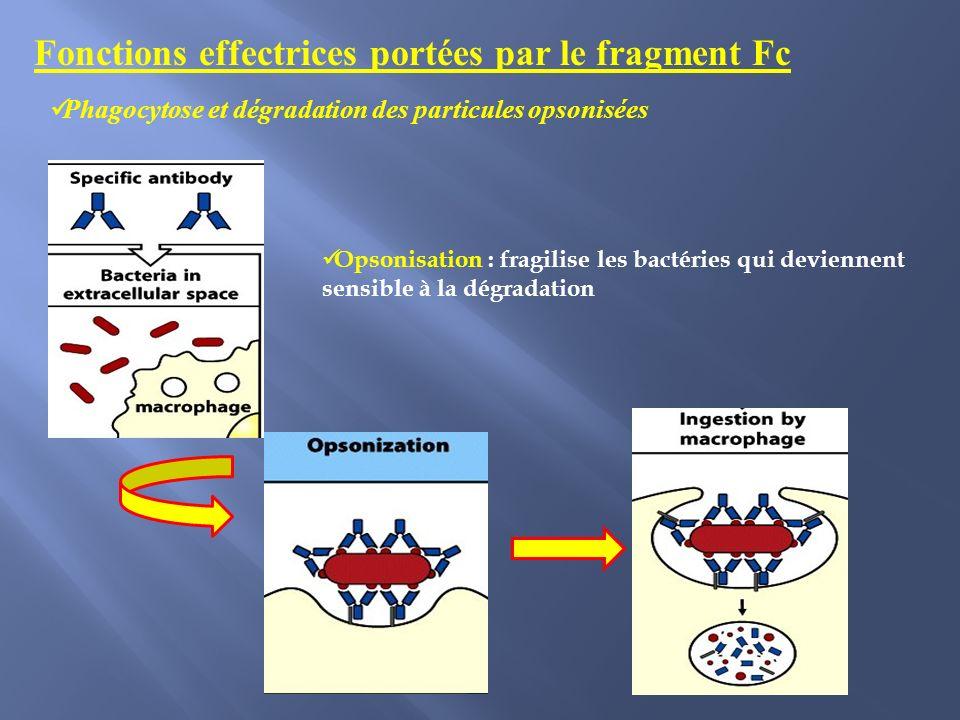 Opsonisation : fragilise les bactéries qui deviennent sensible à la dégradation Fonctions effectrices portées par le fragment Fc Phagocytose et dégradation des particules opsonisées