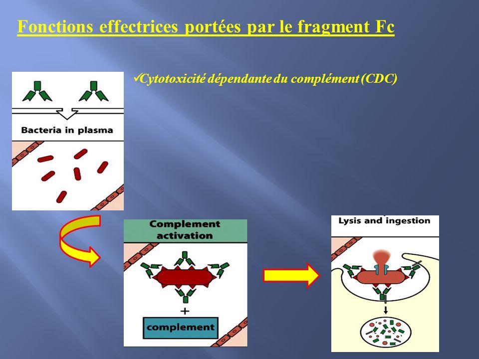 Cytotoxicité dépendante du complément (CDC) Fonctions effectrices portées par le fragment Fc