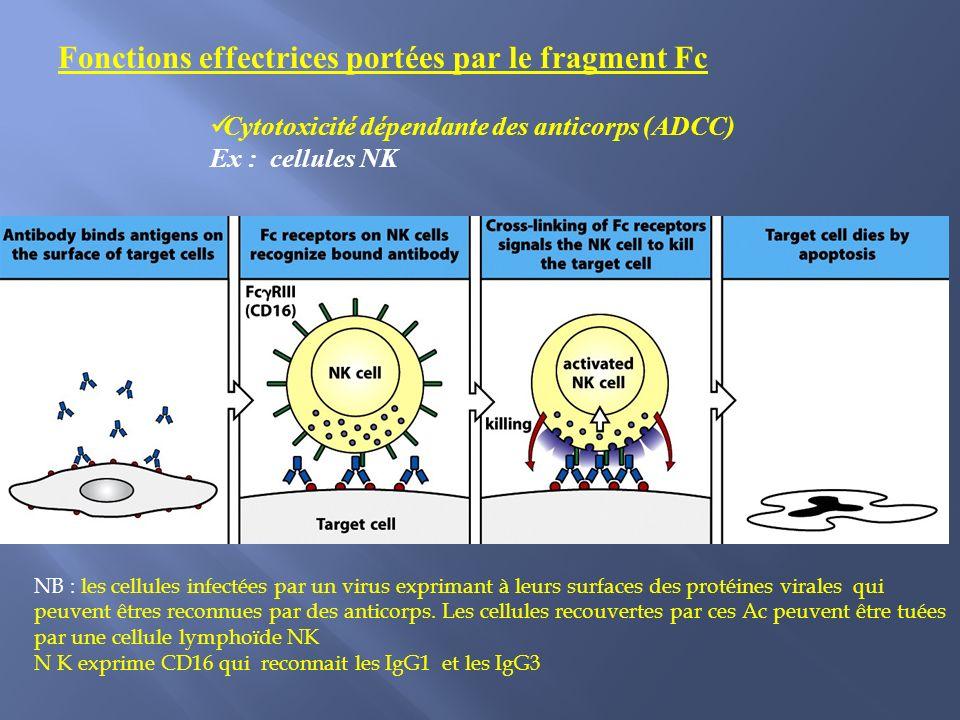Cytotoxicité dépendante des anticorps (ADCC) Ex : cellules NK NB : les cellules infectées par un virus exprimant à leurs surfaces des protéines virales qui peuvent êtres reconnues par des anticorps.