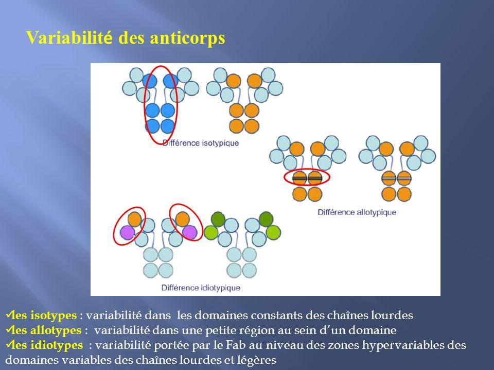 Variabilit é des anticorps les isotypes : variabilité dans les domaines constants des chaînes lourdes les allotypes : variabilité dans une petite région au sein dun domaine les idiotypes : variabilité portée par le Fab au niveau des zones hypervariables des domaines variables des chaînes lourdes et légères