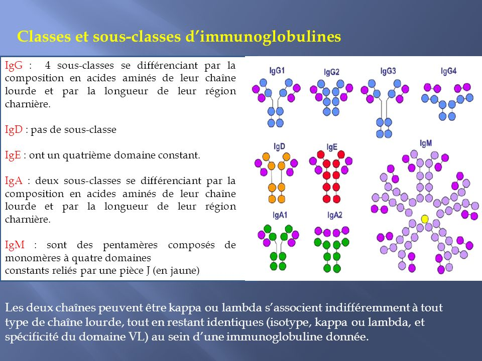 Classes et sous-classes dimmunoglobulines IgG : 4 sous-classes se différenciant par la composition en acides aminés de leur chaîne lourde et par la longueur de leur région charnière.