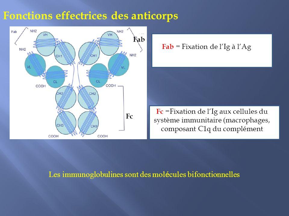 Fonctions effectrices des anticorps Les immunoglobulines sont des mol é cules bifonctionnelles Fc Fab Fc =Fixation de lIg aux cellules du système immunitaire (macrophages, composant C1q du complément Fab = Fixation de lIg à lAg