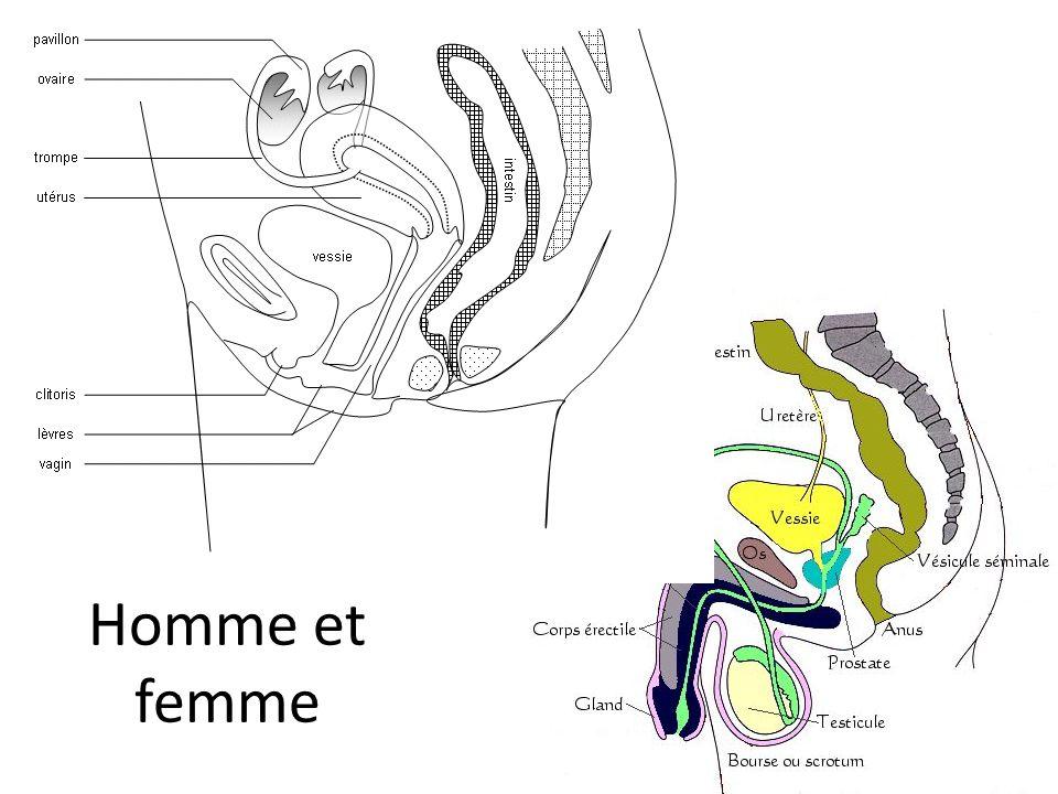 Premières étapes du développement Embryon humain