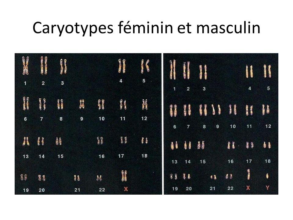 Caryotypes féminin et masculin