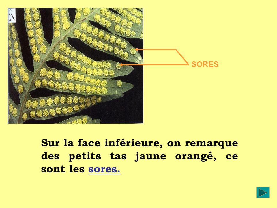 Sur la face inférieure, on remarque des petits tas jaune orangé, ce sont les sores. SORES