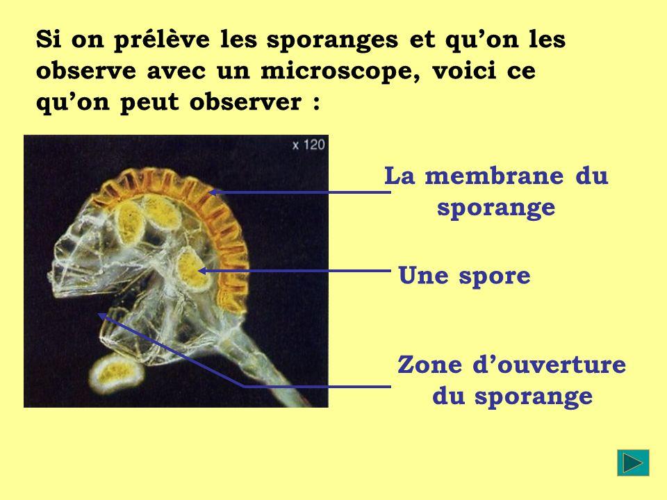 Si on prélève les sporanges et quon les observe avec un microscope, voici ce quon peut observer : La membrane du sporange Une spore Zone douverture du sporange