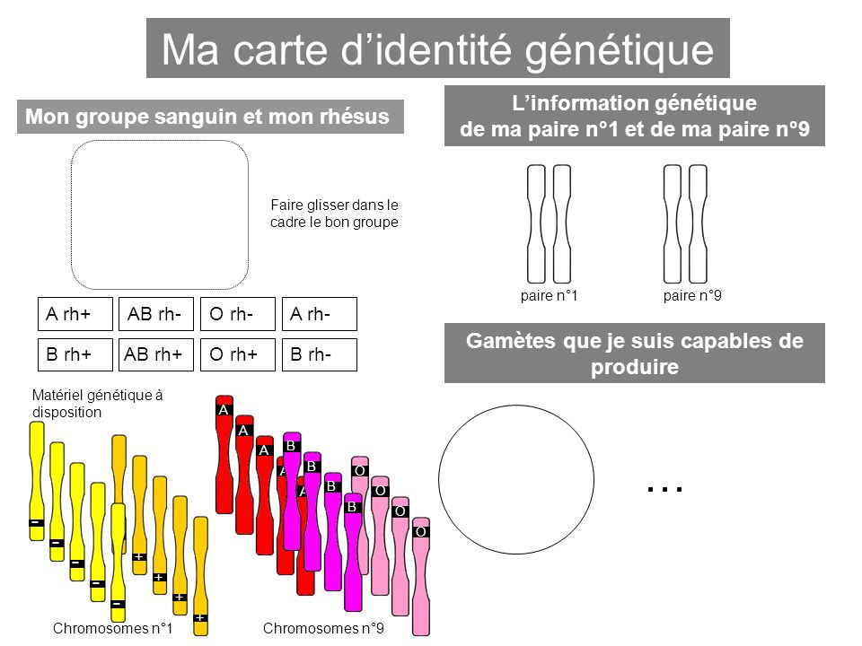 Ma carte didentité génétique Mon groupe sanguin et mon rhésus Linformation génétique de ma paire n°1 et de ma paire n°9 A rh+A rh- B rh+ AB rh- AB rh+O rh+ O rh- B rh- ---- ++++ Chromosomes n°1 AAAAA - + BB O BB OOO Chromosomes n°9 Matériel génétique à disposition Faire glisser dans le cadre le bon groupe paire n°1paire n°9 Gamètes que je suis capables de produire …