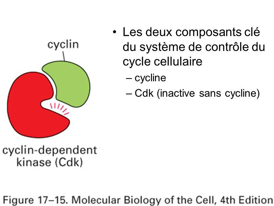 13 Fig 17-15 Les deux composants clé du système de contrôle du cycle cellulaire –cycline –Cdk (inactive sans cycline)