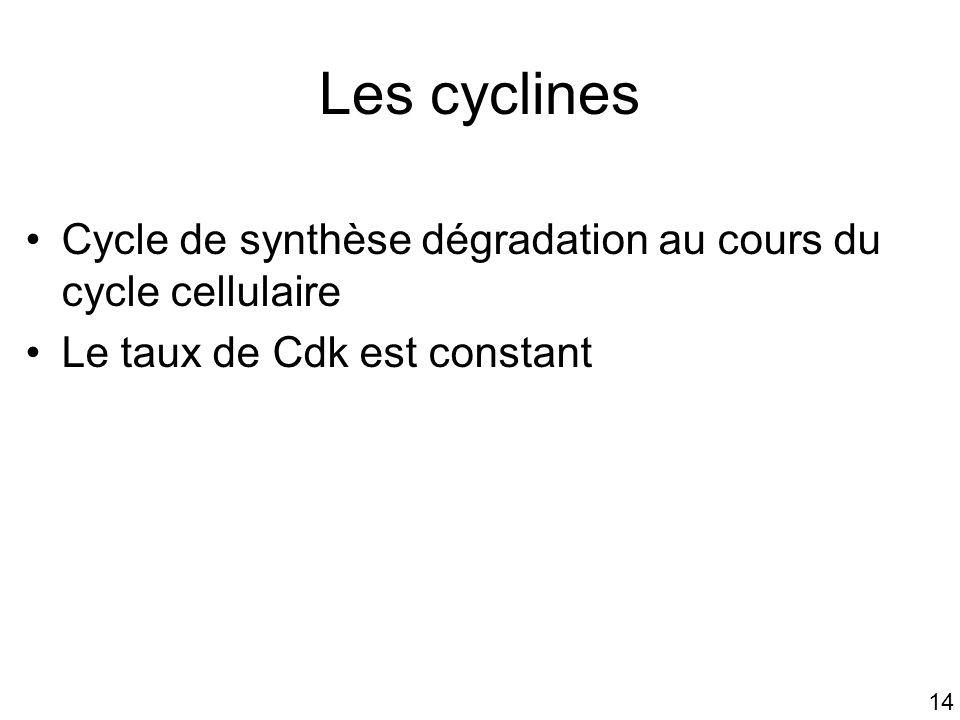 14 Les cyclines Cycle de synthèse dégradation au cours du cycle cellulaire Le taux de Cdk est constant
