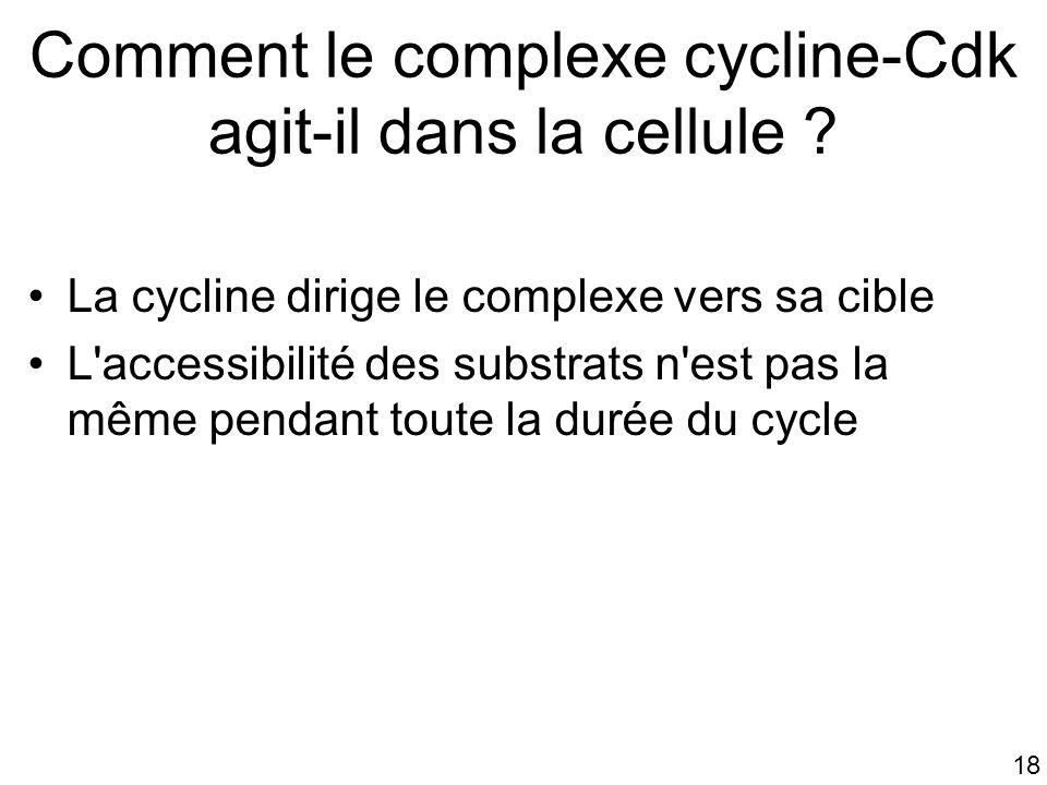 18 Comment le complexe cycline-Cdk agit-il dans la cellule ? La cycline dirige le complexe vers sa cible L'accessibilité des substrats n'est pas la mê