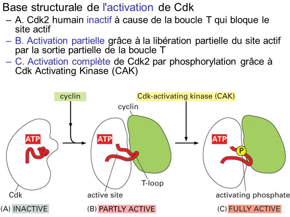 19 Fig 17-17 Base structurale de l'activation de Cdk –A. Cdk2 humain inactif à cause de la boucle T qui bloque le site actif –B. Activation partielle