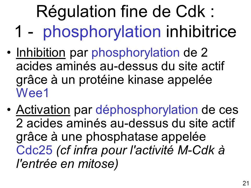 21 Régulation fine de Cdk : 1 - phosphorylation inhibitrice Inhibition par phosphorylation de 2 acides aminés au-dessus du site actif grâce à un proté