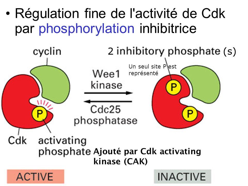 22 Fig 17-18 Régulation fine de l'activité de Cdk par phosphorylation inhibitrice Un seul site P est représenté Ajouté par Cdk activating kinase (CAK)