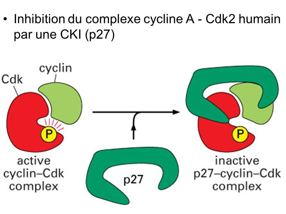 24 Fig 17-19 Inhibition du complexe cycline A - Cdk2 humain par une CKI (p27)