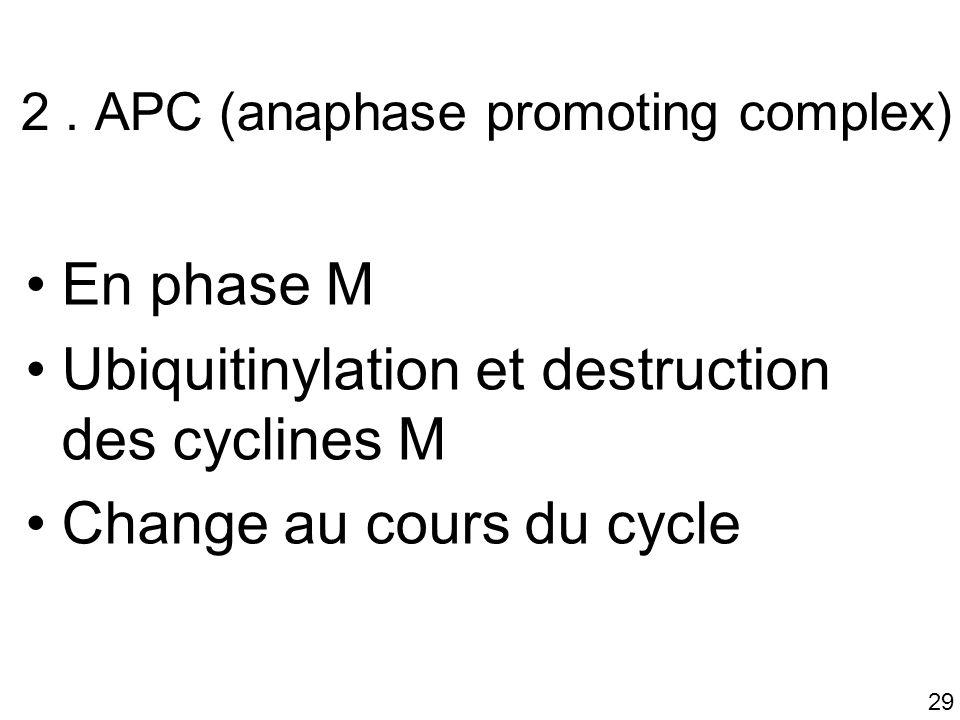 29 2. APC (anaphase promoting complex) En phase M Ubiquitinylation et destruction des cyclines M Change au cours du cycle