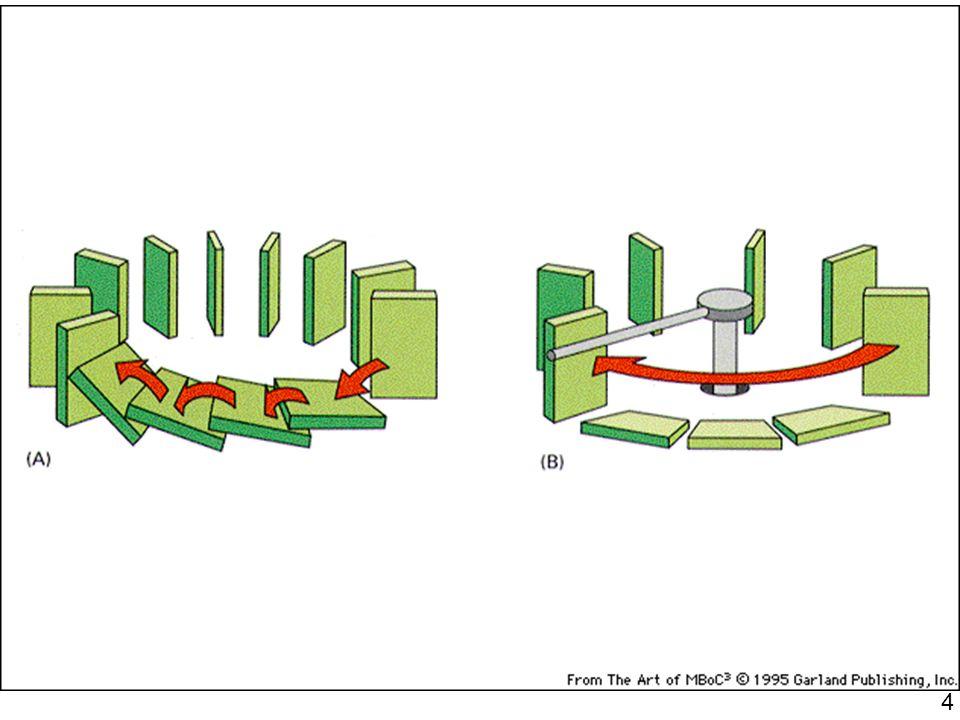 15 Fig 17-16 Schéma du système de contrôle du cycle cellulaire –l action de Cdk se termine par la dégradation de la cycline –exemple de deux cyclines S-cycline M-cycline