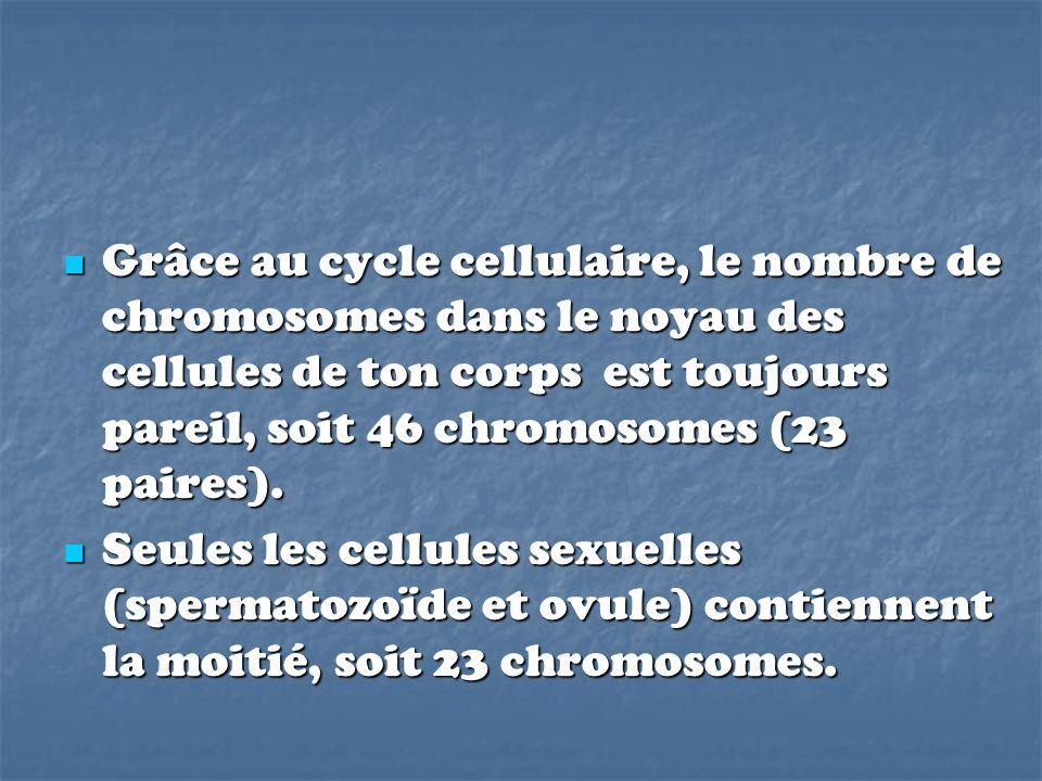 Grâce au cycle cellulaire, le nombre de chromosomes dans le noyau des cellules de ton corps est toujours pareil, soit 46 chromosomes (23 paires). Grâc