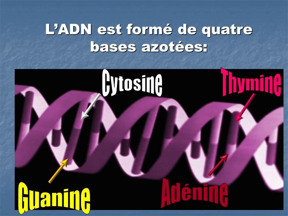 LADN est formé de quatre bases azotées: