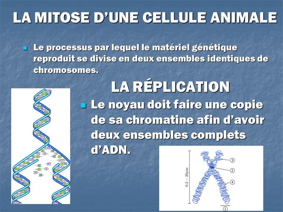LA MITOSE DUNE CELLULE ANIMALE Le processus par lequel le matériel génétique reproduit se divise en deux ensembles identiques de chromosomes. Le proce