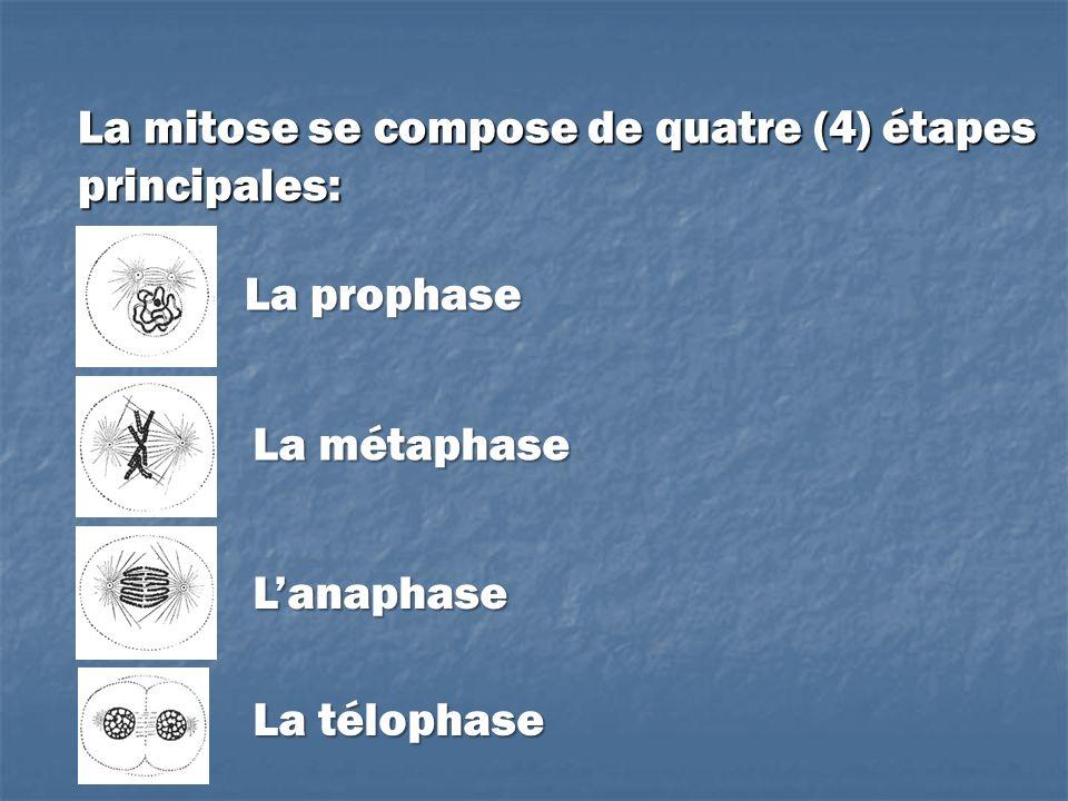 La mitose se compose de quatre (4) étapes principales: La prophase La métaphase Lanaphase La télophase