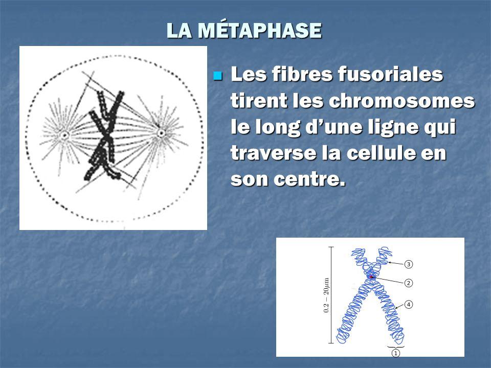 LA MÉTAPHASE Les fibres fusoriales tirent les chromosomes le long dune ligne qui traverse la cellule en son centre. Les fibres fusoriales tirent les c