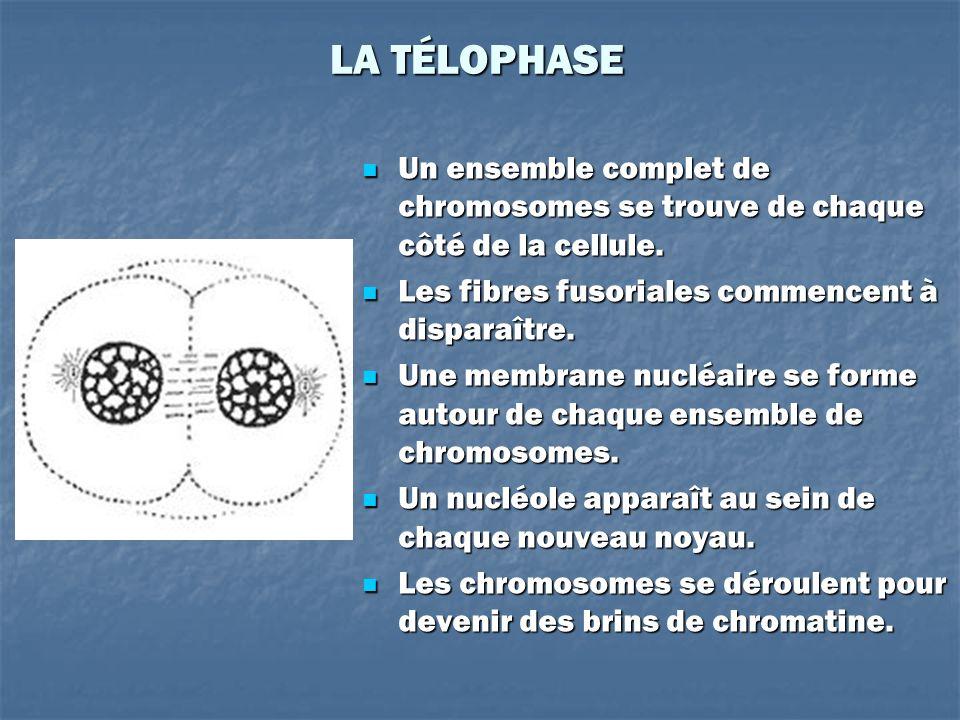 LA TÉLOPHASE Un ensemble complet de chromosomes se trouve de chaque côté de la cellule. Un ensemble complet de chromosomes se trouve de chaque côté de