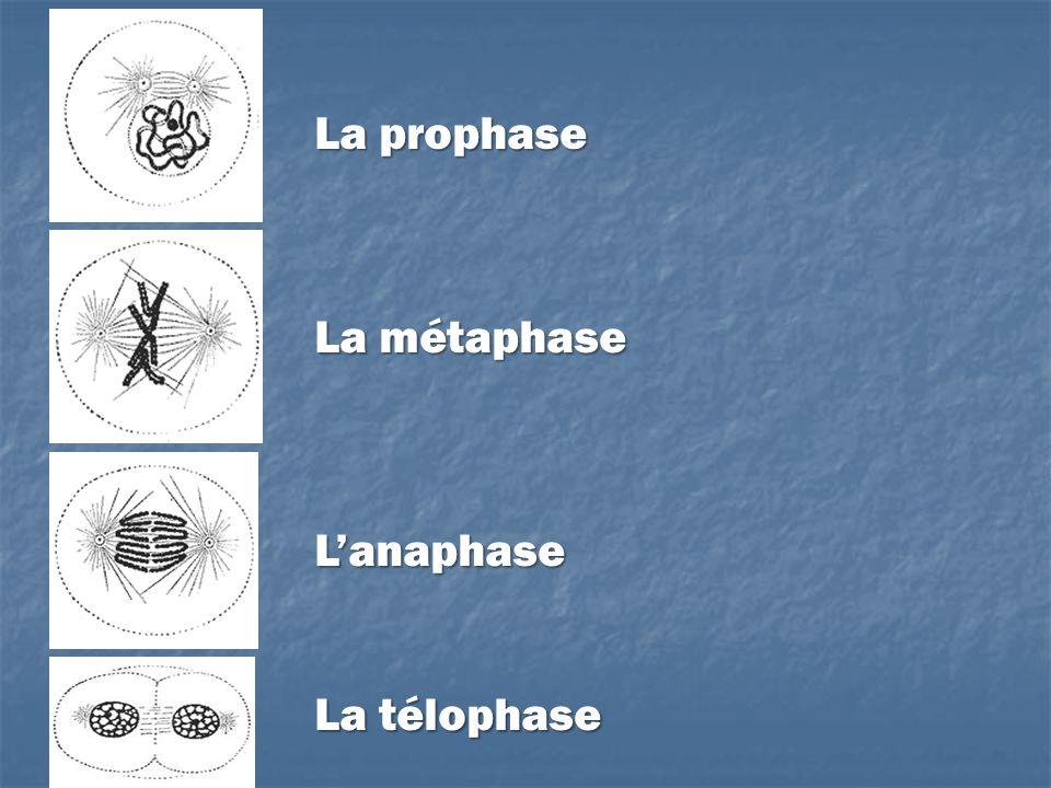 La prophase La métaphase Lanaphase La télophase