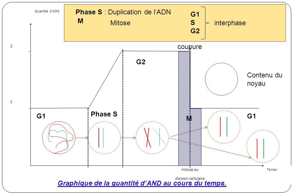 Quantité dADN Temps 2 1 mitose ou division cellulaire Contenu du noyau Phase S : Duplication de lADN Phase S coupure Graphique de la quantité dAND au cours du temps.
