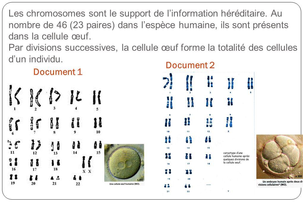 Les chromosomes sont le support de linformation héréditaire. Au nombre de 46 (23 paires) dans lespèce humaine, ils sont présents dans la cellule œuf.