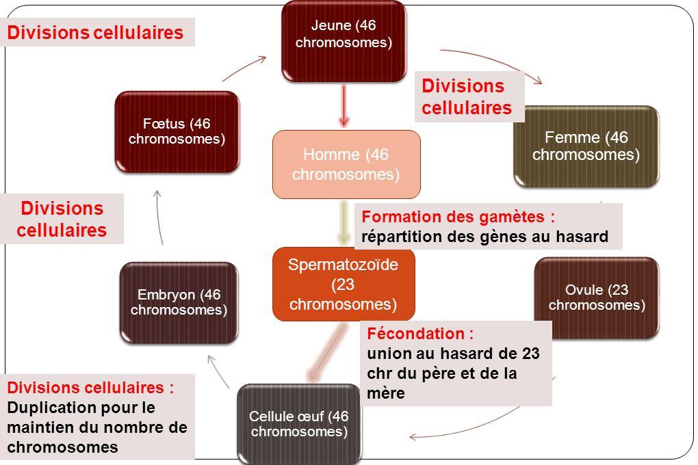 Jeune (46 chromosomes) Femme (46 chromosomes) Ovule (23 chromosomes) Cellule œuf (46 chromosomes) Embryon (46 chromosomes) Fœtus (46 chromosomes) Homme (46 chromosomes) Spermatozoïde (23 chromosomes) Divisions cellulaires Formation des gamètes : répartition des gènes au hasard Fécondation : union au hasard de 23 chr du père et de la mère Divisions cellulaires : Duplication pour le maintien du nombre de chromosomes Divisions cellulaires