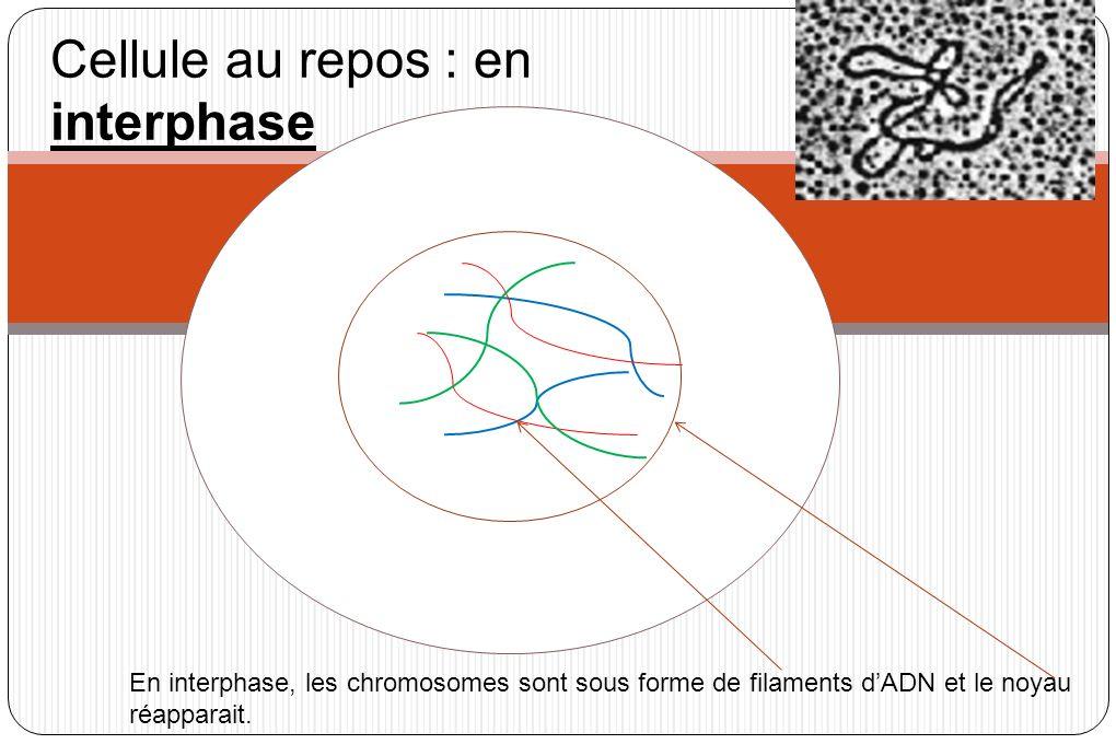 Voyons la division cellulaire ou mitose dune cellule à 3 paires de chromosomes 1 paire bleue : chromosomes à 1 chromatide 1 paire rouge : chromosomes à 1chromatide 1 paire verte : chromosomes à 1 chromatide