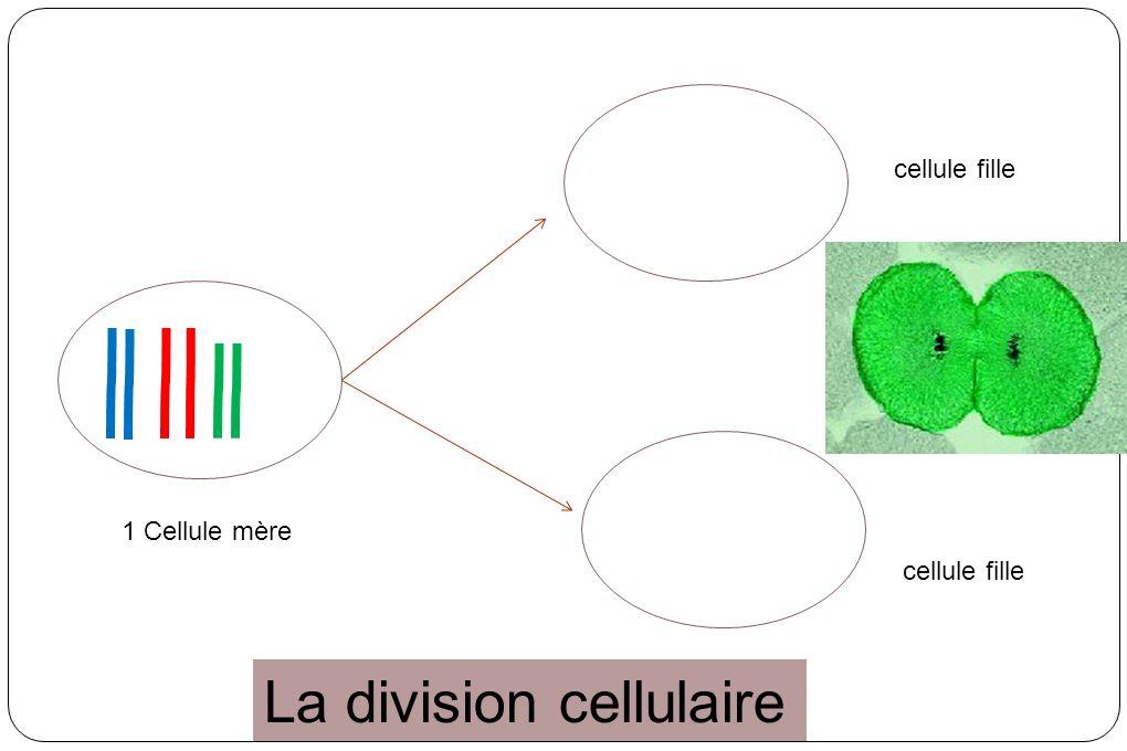 1 Cellule mère cellule fille La division cellulaire