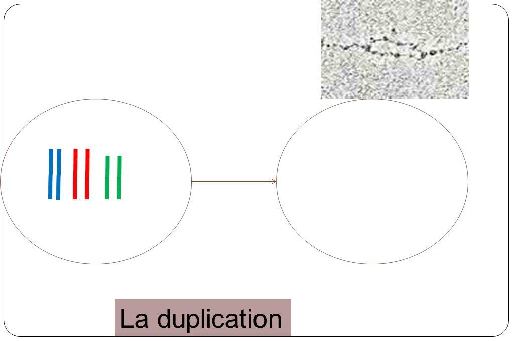 Groupe sanguinABABO Hématies (les molécules de surface ne sont pas à léchelle) % en France4410442 Représentation chromosomique : Paire de chromosomes N°9 AABBAB OO