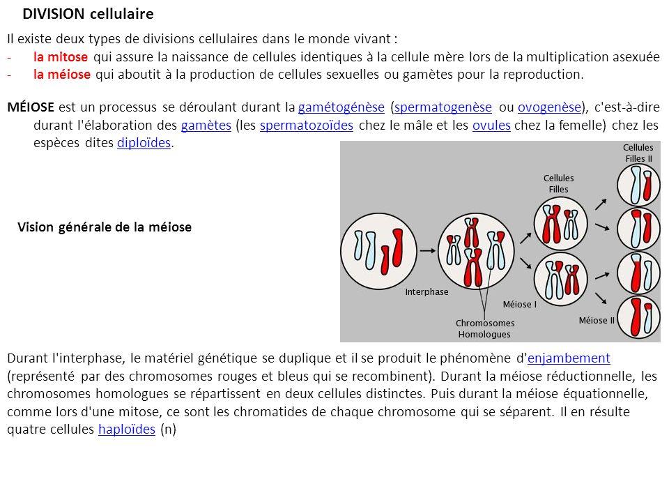 DIVISION cellulaire Il existe deux types de divisions cellulaires dans le monde vivant : -la mitose qui assure la naissance de cellules identiques à la cellule mère lors de la multiplication asexuée -la méiose qui aboutit à la production de cellules sexuelles ou gamètes pour la reproduction.