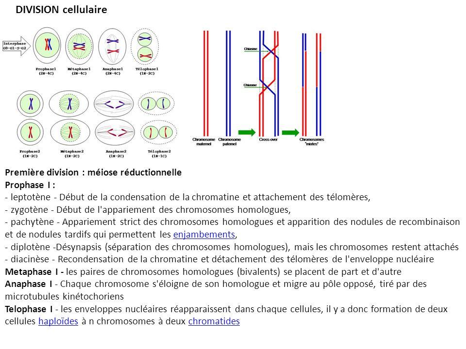 DIVISION cellulaire Première division : méiose réductionnelle Prophase I : - leptotène - Début de la condensation de la chromatine et attachement des télomères, - zygotène - Début de l appariement des chromosomes homologues, - pachytène - Appariement strict des chromosomes homologues et apparition des nodules de recombinaison et de nodules tardifs qui permettent les enjambements,enjambements - diplotène -Désynapsis (séparation des chromosomes homologues), mais les chromosomes restent attachés - diacinèse - Recondensation de la chromatine et détachement des télomères de l enveloppe nucléaire Metaphase I - les paires de chromosomes homologues (bivalents) se placent de part et d autre Anaphase I - Chaque chromosome s éloigne de son homologue et migre au pôle opposé, tiré par des microtubules kinétochoriens Telophase I - les enveloppes nucléaires réapparaissent dans chaque cellules, il y a donc formation de deux cellules haploïdes à n chromosomes à deux chromatideshaploïdeschromatides