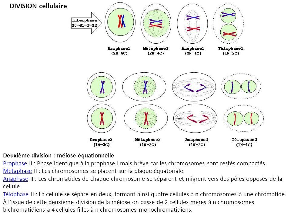 DIVISION cellulaire Deuxième division : méiose équationnelle ProphaseProphase II : Phase identique à la prophase I mais brève car les chromosomes sont restés compactés.