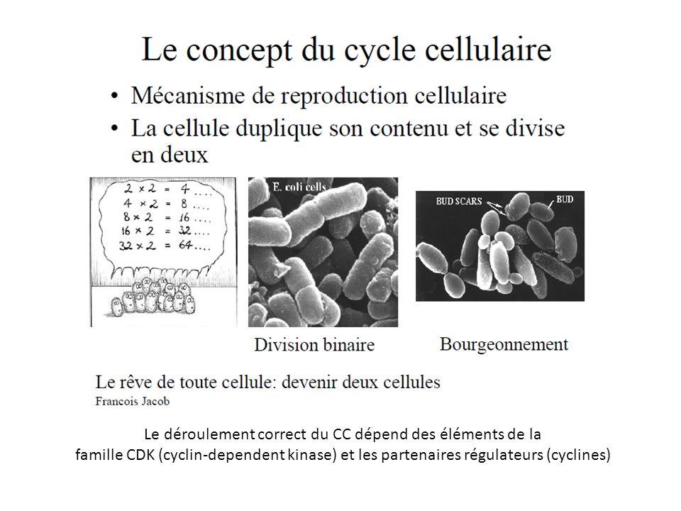 Le déroulement correct du CC dépend des éléments de la famille CDK (cyclin-dependent kinase) et les partenaires régulateurs (cyclines)
