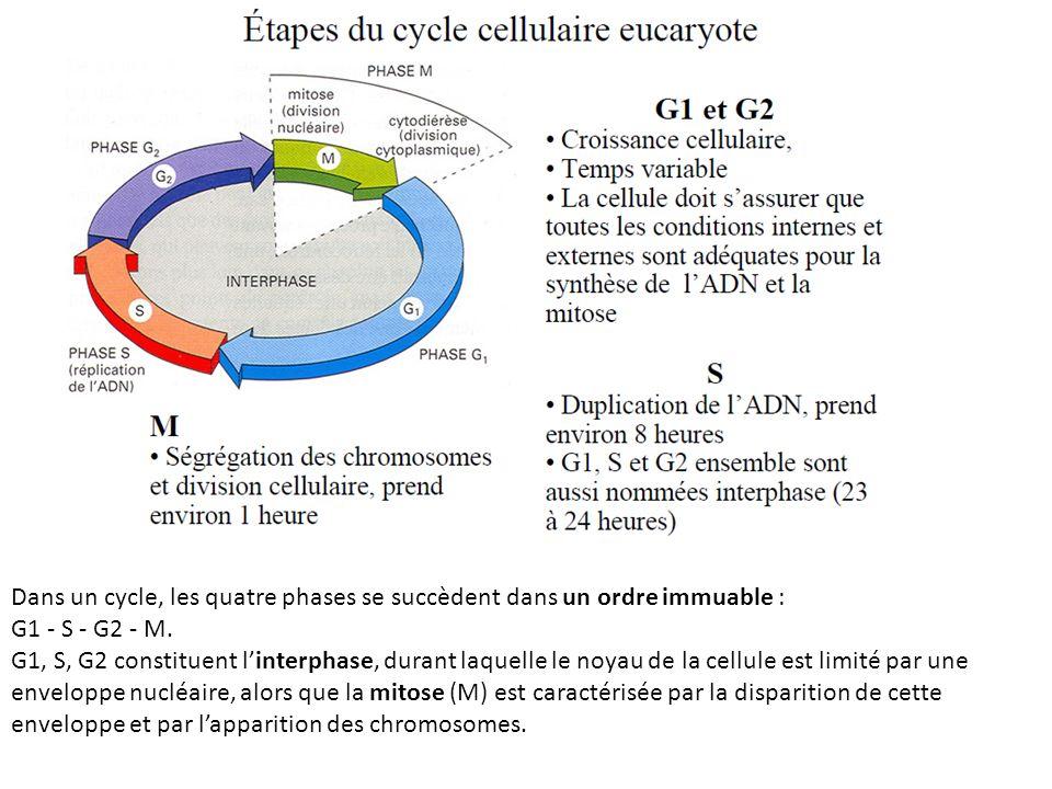 Dans un cycle, les quatre phases se succèdent dans un ordre immuable : G1 - S - G2 - M.