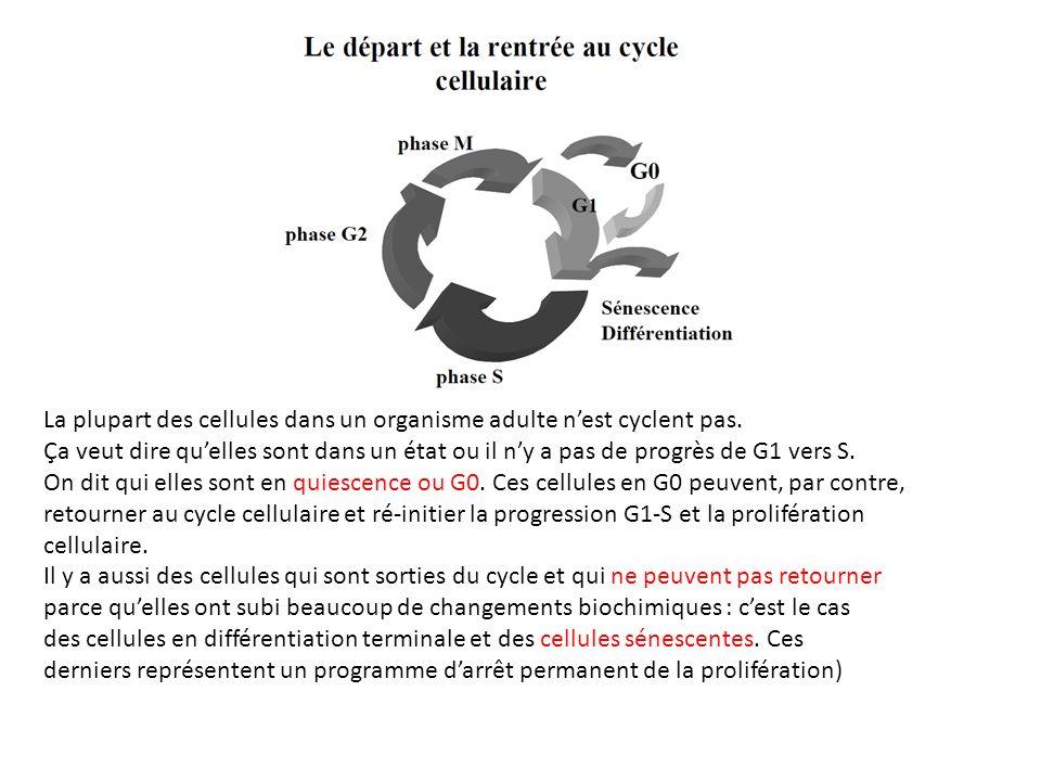 La plupart des cellules dans un organisme adulte nest cyclent pas.
