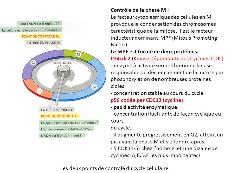 Les deux points de controle du cycle cellulaire Contrôle de la phase M : Le facteur cytoplasmique des cellules en M provoque la condensation des chromosomes caractéristique de la mitose.
