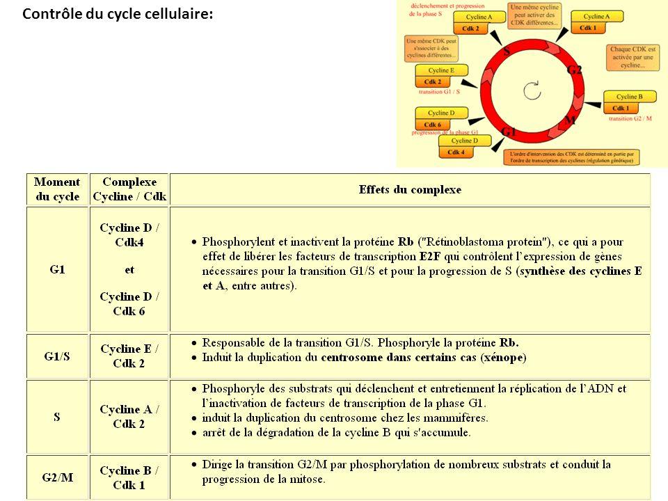 Contrôle du cycle cellulaire: